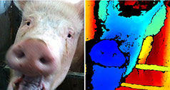facial recognition technology in pigs